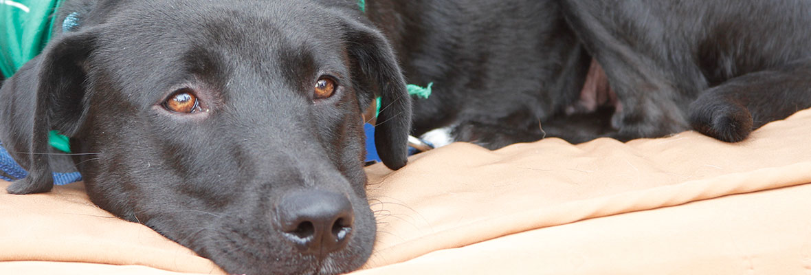 A Labrador sitting on a donated bed at an adoption event